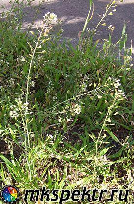 b_0_0_0_10_images_plant_275px-Capsella_bursa-pastoris.JPG