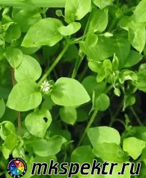 b_0_0_0_10_images_plant_Stellaria_media.jpg