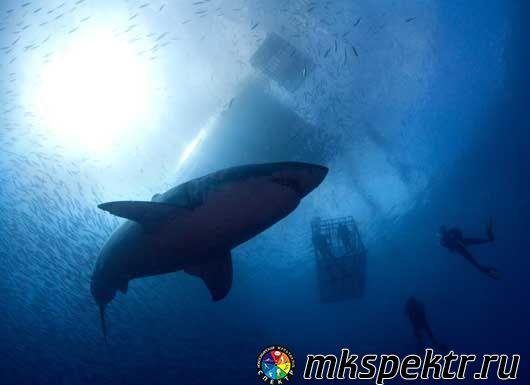 Поплавать с большой белой акулой, Южная Африка