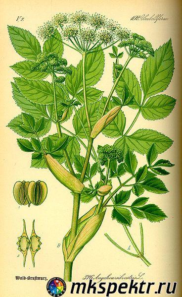 b_0_0_0_10_images_plant_368px-Illustration_Angelica_silvestris0.jpg