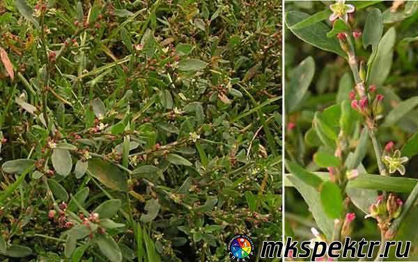 b_0_0_0_10_images_plant_gorec_ptichii.jpg