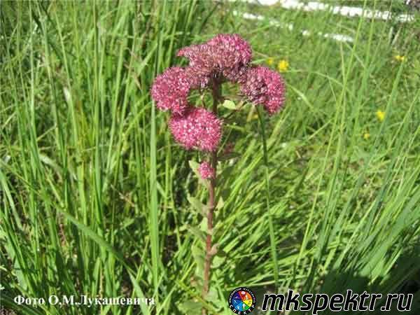 b_0_0_0_10_images_plant_ochitok_8.jpg